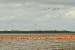 Gde v Meksike mozhno posmotret' rozovyh flamingo? Mogu posovetovat' dva nacional'nyh parka: Rio-Lagartos i Selestun. Polgoda oni vyvodjat ptencov v pervom, zimujut – vo vtorom.