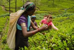 SHri-Lanka slavitsya svoim chaem. Po doroge ot Pika Adama v Kandi my zaekhali na chajnye plantacii, gde ustroili fotosessiyu so sborshchicami chaya, a takzhe skhodili na fabriku Mackwoods Labookellie Tea Centre