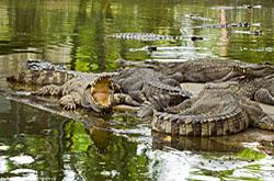 Jekskursija na krokodilovuju fermu v Pattae