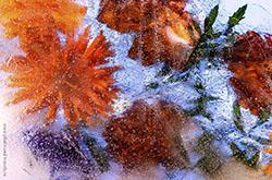 Natiurmort s tsvetami zamorozhennymi v led ia tozhe fotografiroval ispolzuia fonarik i list vatmana.