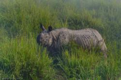Nosorogov my s Katei videli i na prirode Rano utrom osedlali slonov i otpravilis v boloto natsionalnogo parka Kaziranga na beregakh reki Brakhmaputra v Indii.