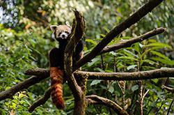 Gimalaiskogo medvedia i simpatichnykh krasnykh pand my nabliudali v Indii v gorode Dardzhiling znamenitom svoimi chainymi plantatsiiami Otchet ob ekskursii.