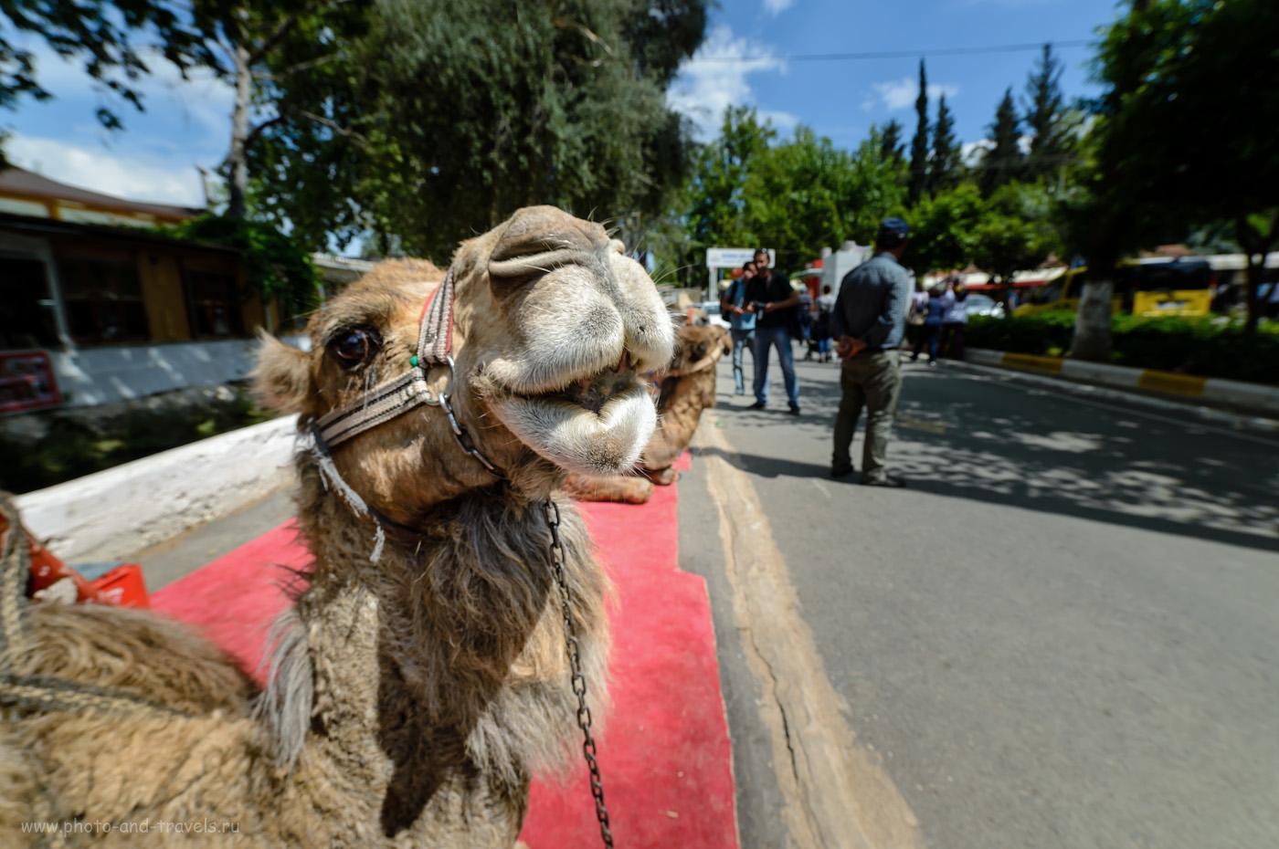 Фото 17. Сейчас плюнет? Верблюды могут быть очень опасны (см. рассказ о поездке к акведуку города Ольба в 2020 году). Отчеты туристов об экскурсии к водопаду Верхний Дюден. Рассказ про самостоятельное путешествие в Антали, поездку по Турции на авто. 1/400, 800, 250, -0.67, 14.