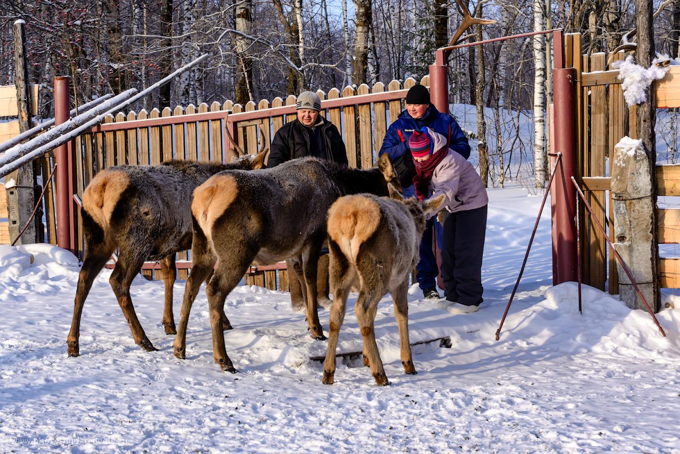 Изображение 29. Олени в челябинской области. Экскурсия на мараловую ферму. 1/320, -0.33, 8.0, 250, 70.