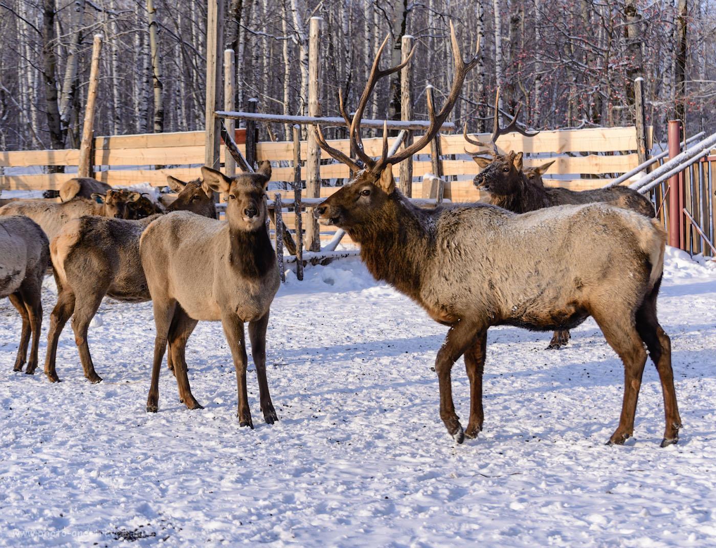 Снимок 30. Благородные олени на ферме в окрестностях национального парка Зюраткуль. Камера Nikon D610, телеобъектив Nikon 70-300mm. Настройки: 1/320, +0.67, 4.5, 110, 70.