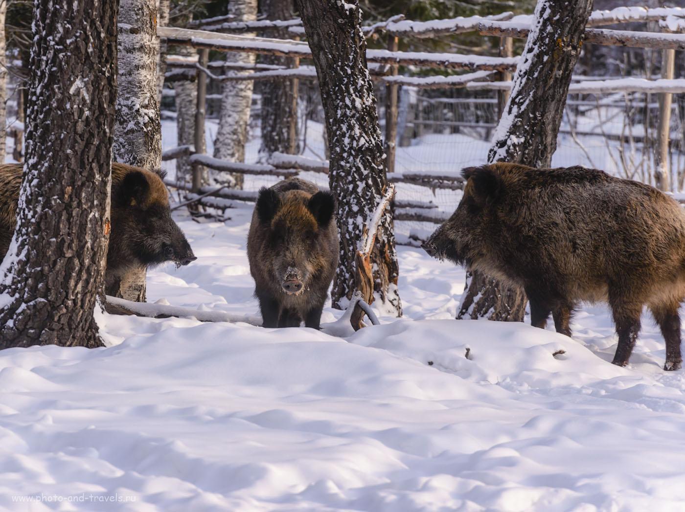 Фото 32. Три веселых друга. Экскурсия на мараловодческую ферму «Медвежья радость». 1/320, -0.33, 8.0, 220, 230.