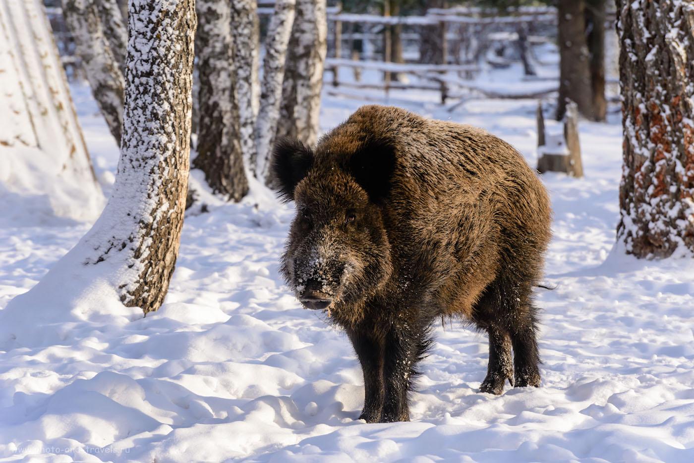 """Фото 31. Дикий кабан на оленьей ферме """"Медвежья радость. Отзыв об экскурсии в Национальный парк Зюраткуль. 1/320, +0.33, 8.0, 500, 185."""