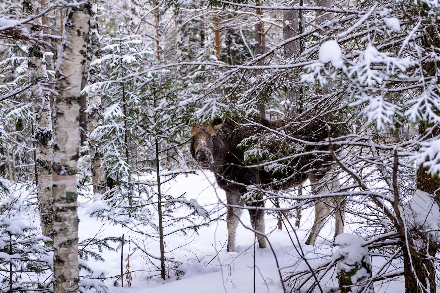 Фото 3. Лось в тайге национального парка Зюраткуль. 1/320, 5.0, 800, 70.