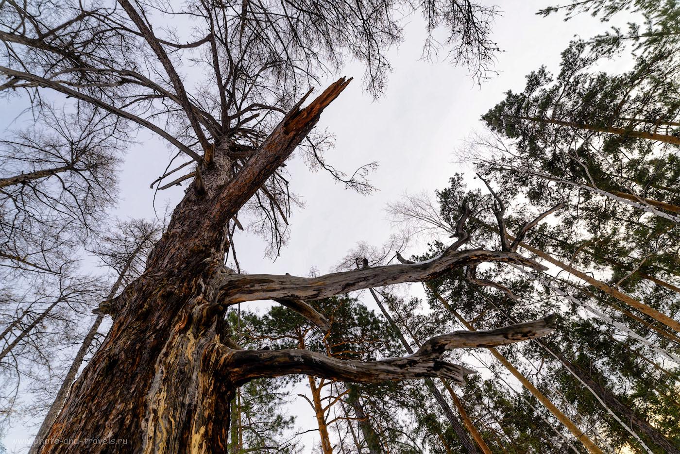 Фотография 17. Старое-престарое дерево на Сугомаке. 1/200, 9.0, 220, 14.