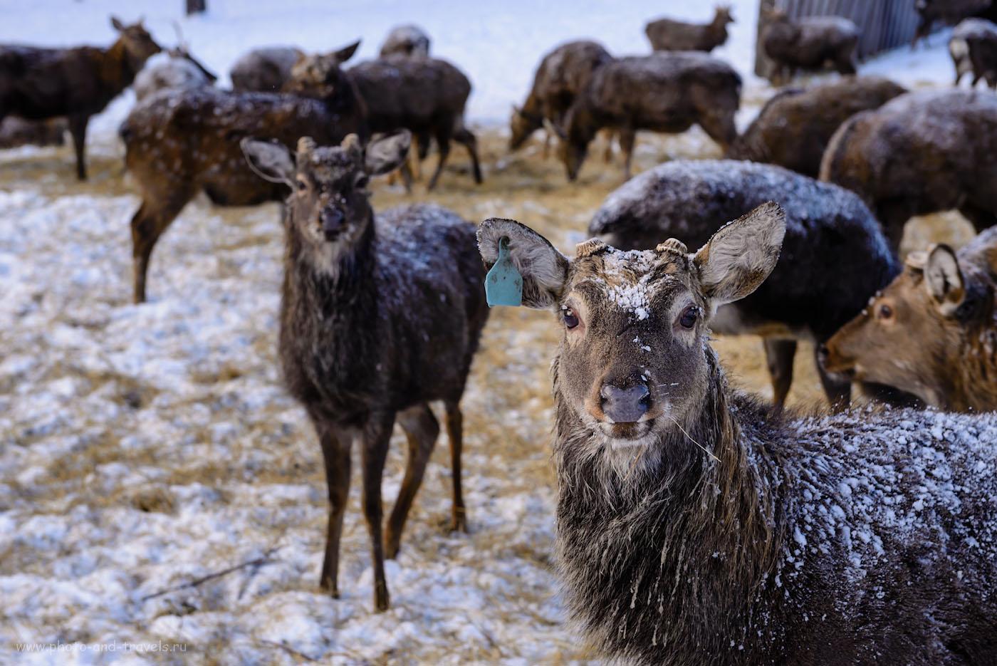 Фото 4. Отзыв об экскурсии в оленью ферму, что в окрестностях озера Иткуль. 1/60, -0.67, 7.1, 100, 70.