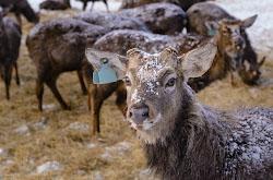 Na granitse Sverdlovskoi i CHeliabinskoi oblastei mozhno posetit oleniu fermu gde soderzhat okolo 600 golov blagorodnykh olenei.