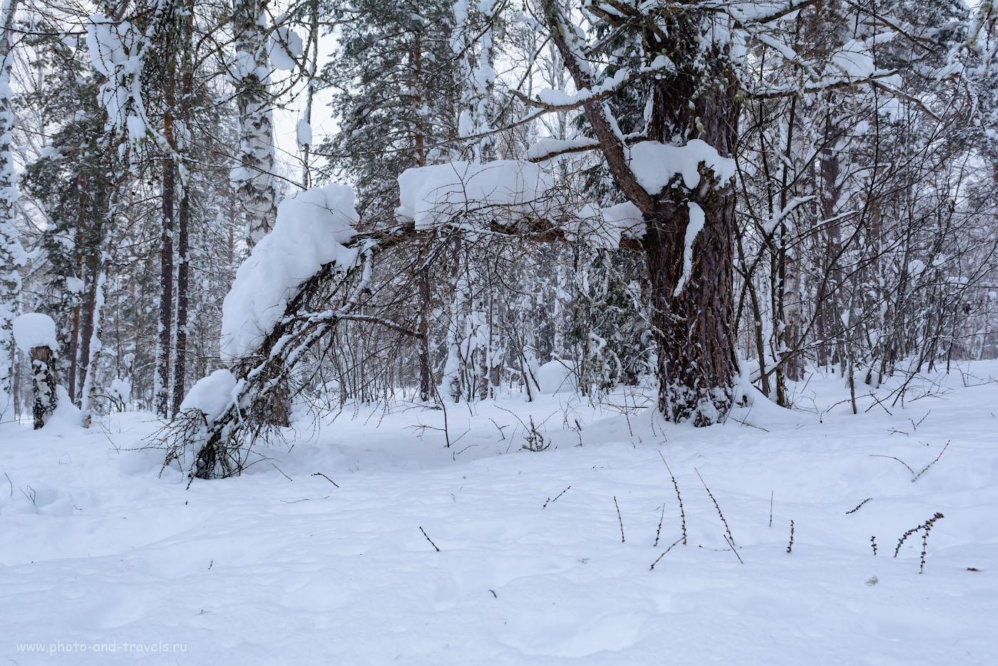 Фотография 30. Снежные медведи в вечерней уральской тайге. Можно ли использовать Nikon D5200 в связке с репортажным светосильным зумом Nikon 17-55mm f/2.8G для фотоохоты? 1/100, 8.0, 800, 17.