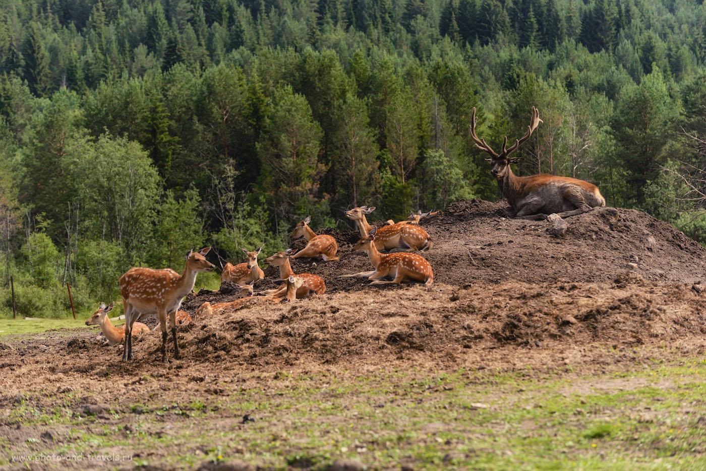 Фотография 2. В поселке Висим на Оленьей ферме содержатся и маралы (благородный олень) и пятнистые олени. 1/500, -0.67, 4.8, 100, 155.