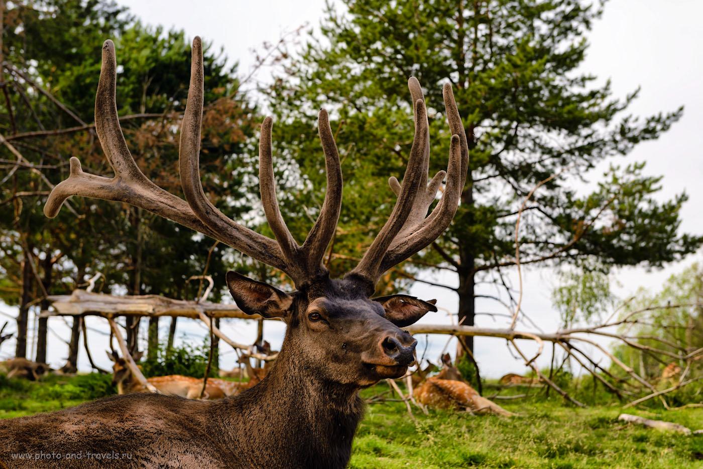 Фото 3. Марал, или благородный олень. Экскурсия на ферму в поселке Висим. Камера Nikon D610 + объектив Nikon 24-70mm f/2.8G. Параметры съемки: 1/125, -1.0, 5.6, 100, 58.