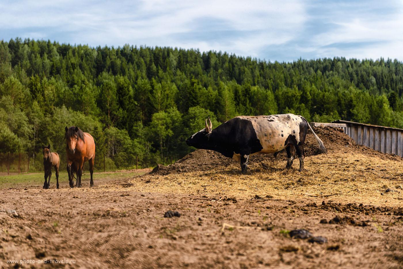 Фотография 7. Представляете, как не повезло лошадкам: жить в одном загоне со свирепым быком! 1/1000, -0.67, 2.8, 100, 70.