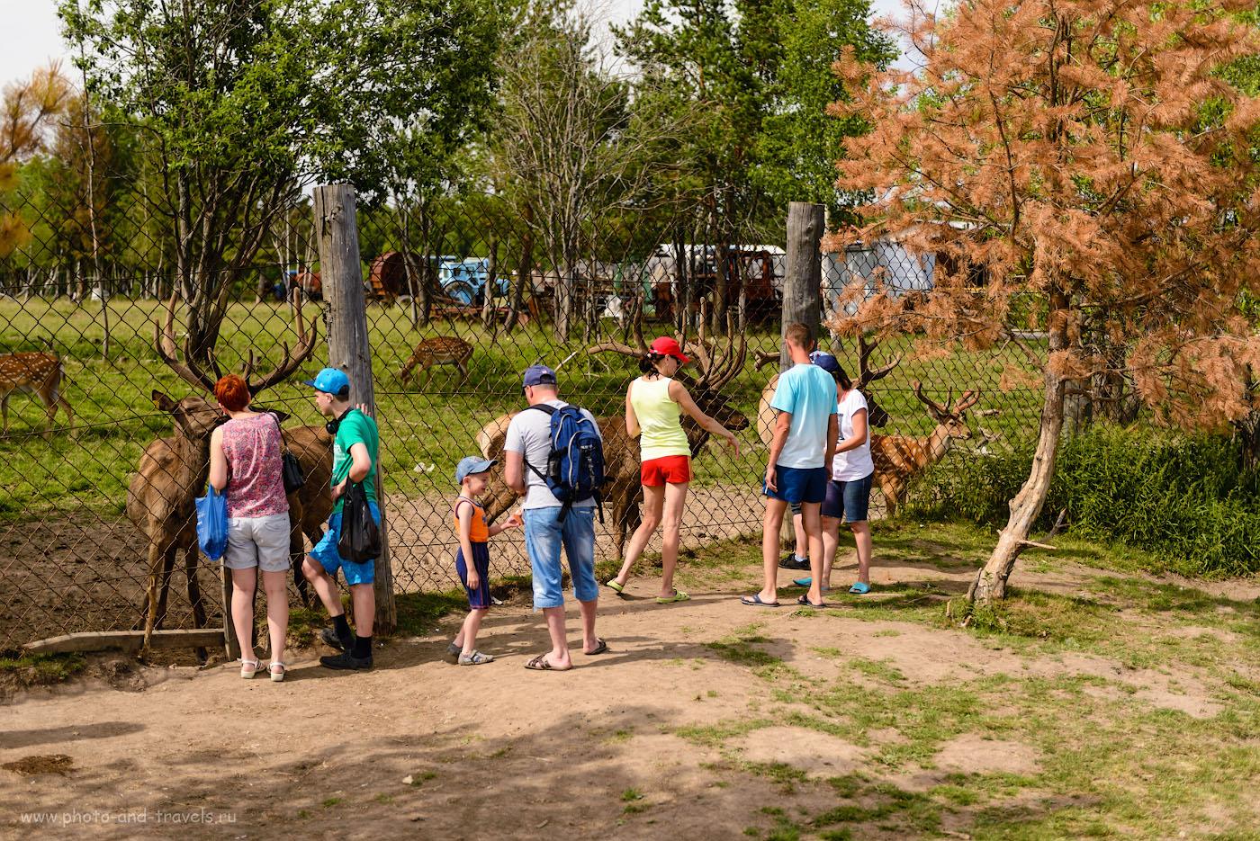 Фотография 7. Кормление маралов и пятнистых оленей – главное развлечение туристов на Оленьей ферме. 1/1000, -0.67, 2.8, 100, 55.
