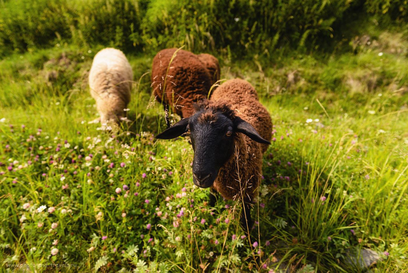 Снимок 8. Овца на ферме в Висиме. 1/125, -0.33, 4.5, 100, 24.
