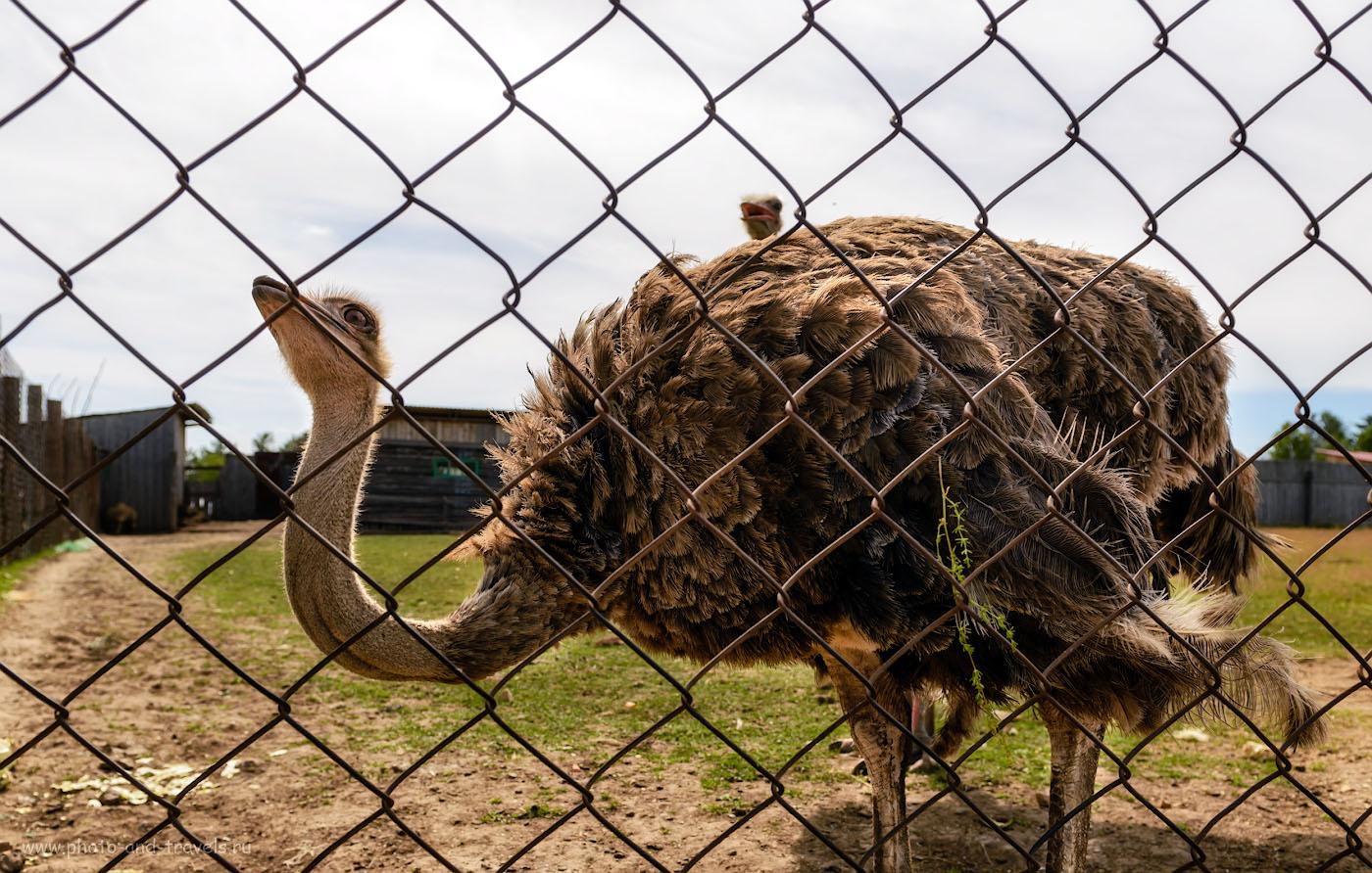 Снимок 10. Африканские страусы на Оленьей ферме в поселке Висим. 1/500, -1.33, 4.5, 100, 24.