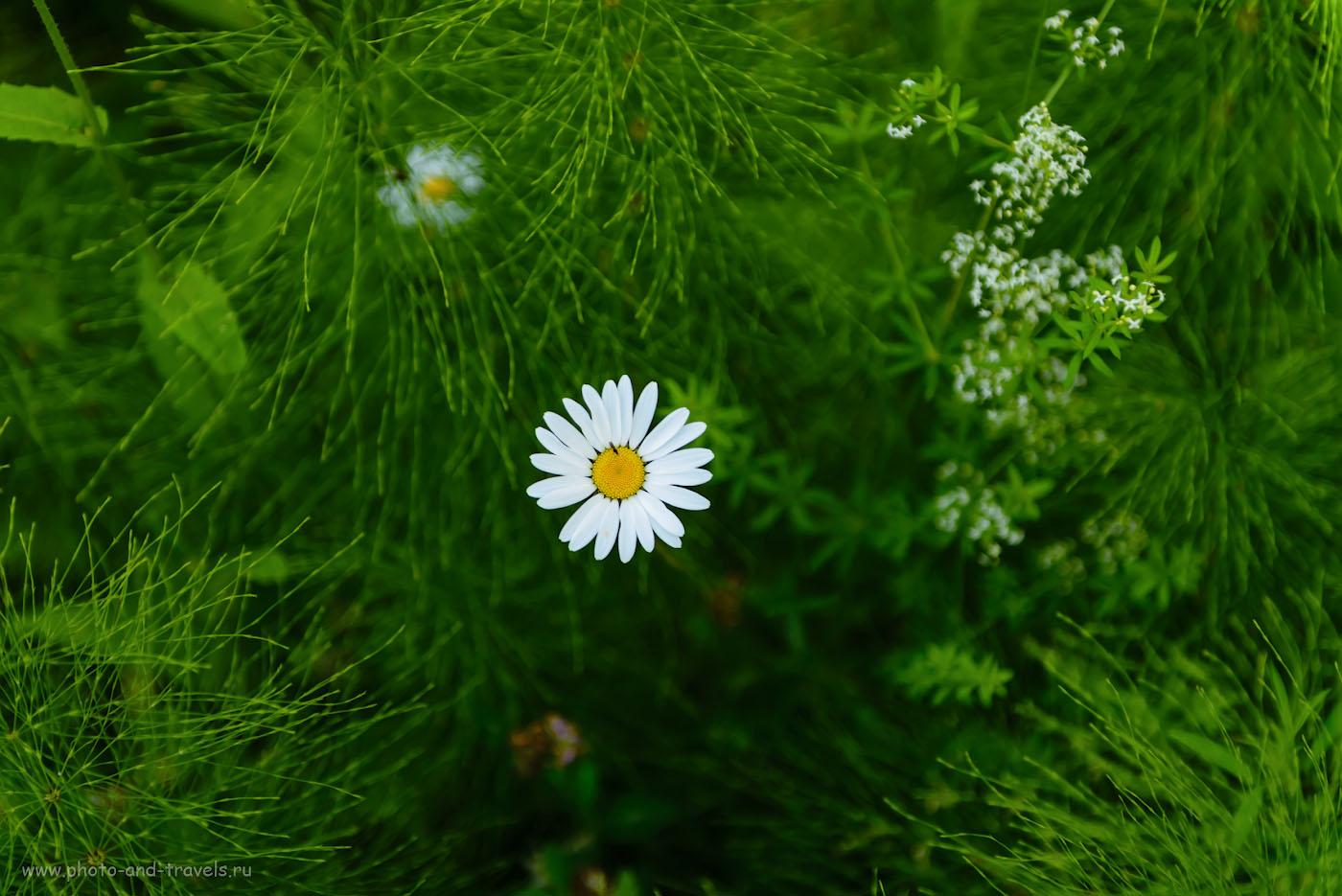 Фотография 27. Обычно этот цветок я называю ромашкой. Но в отчете о походе к Кырманским скалам мне указали, что это – вроде как, нивяник. 1/100, 0.67, 2.8, 450, 70.