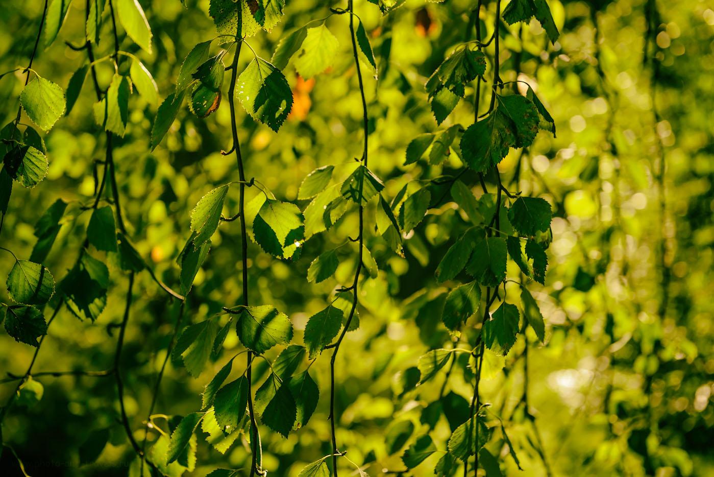 Снимок 20. Плакучая береза. Совсем скоро на Урал придет осень и оденется она в золото.