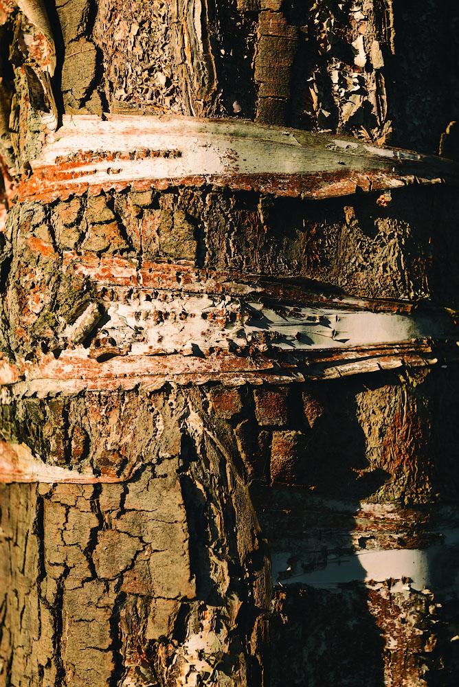 Фотография 23. Старая береза.