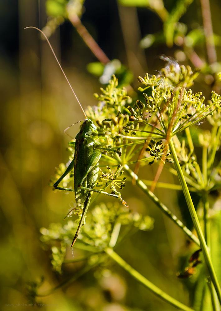 Фотография 24. Латинское название зеленого кузнечика Tettigonia viridissima, а его «меч», оказывается - яйцеклад самки.