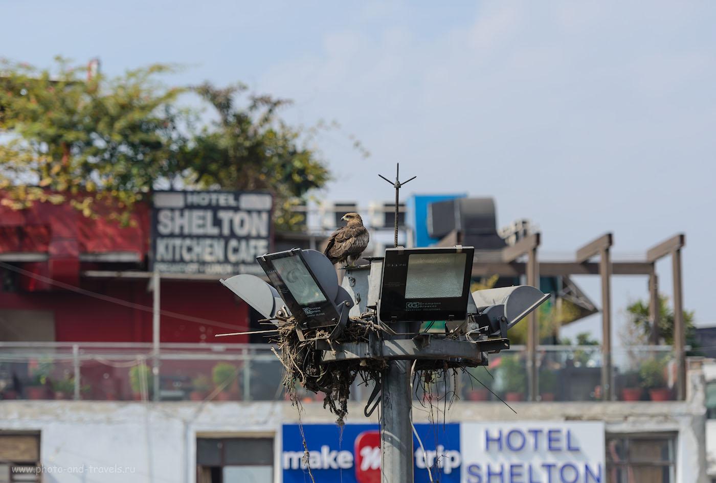 Фото 3. Ястреб на Мейн-Базаре. Отчеты об отдыхе в Индии самостоятельно. Полный кадр Nikon D610 + телеобъектив Nikon 70-200mm f/2.8G. Параметры съемки: 1/1250, 2.8, 100, 125.