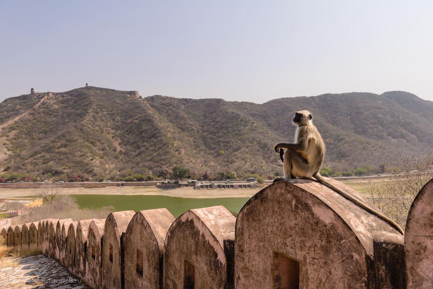 Фотография 14. Лангур на крепостной стене между фортами Амбер и Джайгарх. Отзывы об экскурсии по «Золотому треугольнику Индии». 1/800, -0.33, 4.5, 100, 24.