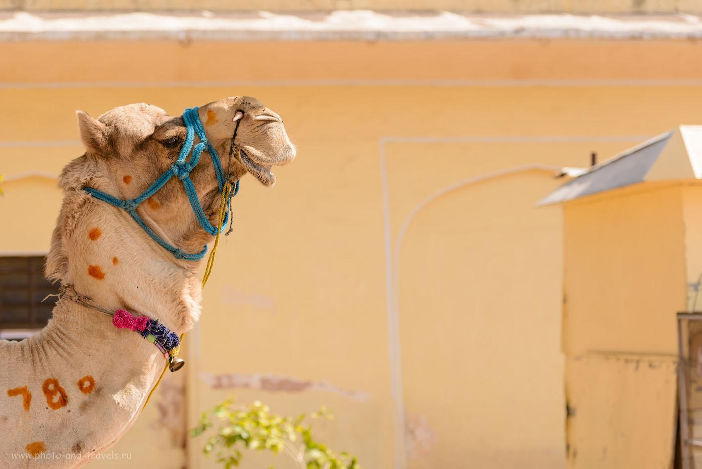 Фото 26. Драмадер в крепости Джайгарх. Знали бы вы, какой он высокий! 1/500, 4.0, 100, 98.