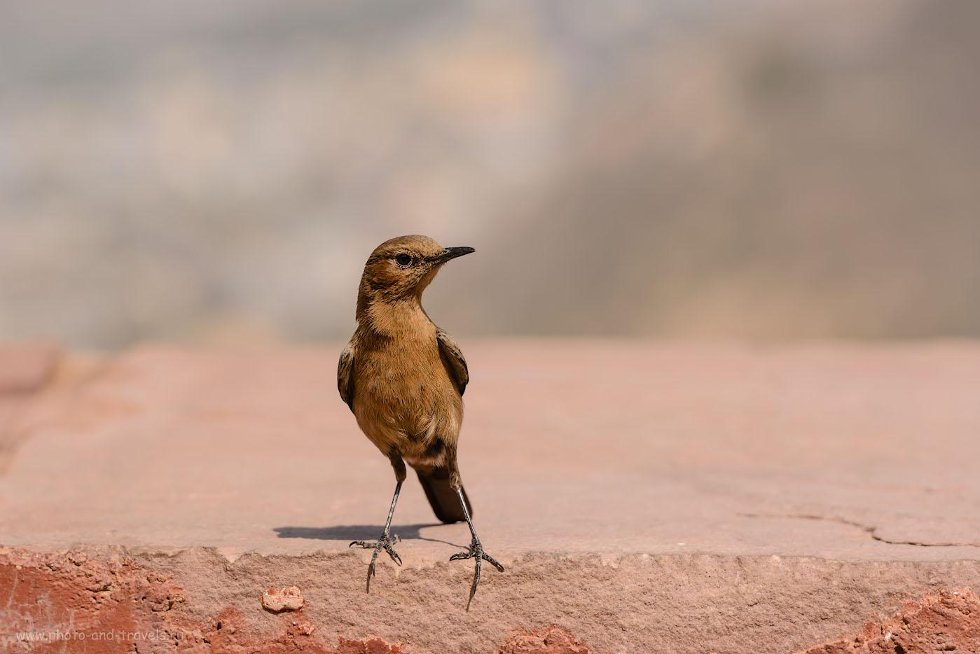 Фотография 27. Птица на крепостной стене между фортами Джайгарх и Амер. Отчеты о поездке в Джайпур самостоятельно. 1/400, 7.1, 100, 200.