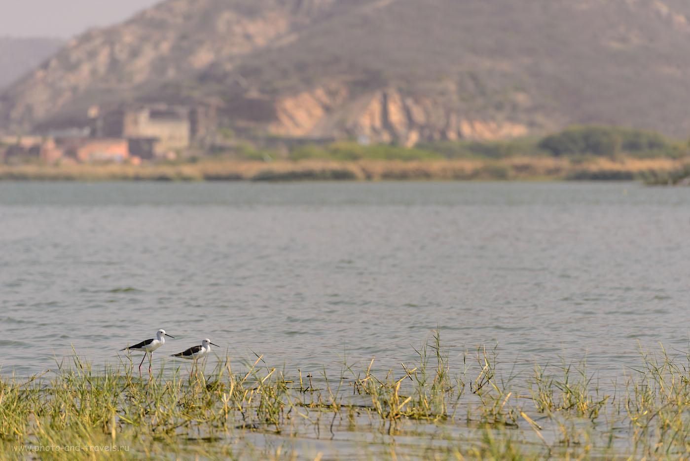 Фото 4. Ходулочники на берегу озера Мэн Сагар в Джайпуре. Отчет о самостоятельной поездке в Индию зимой 2017 года. 1/800, 4.5, 100, 200.
