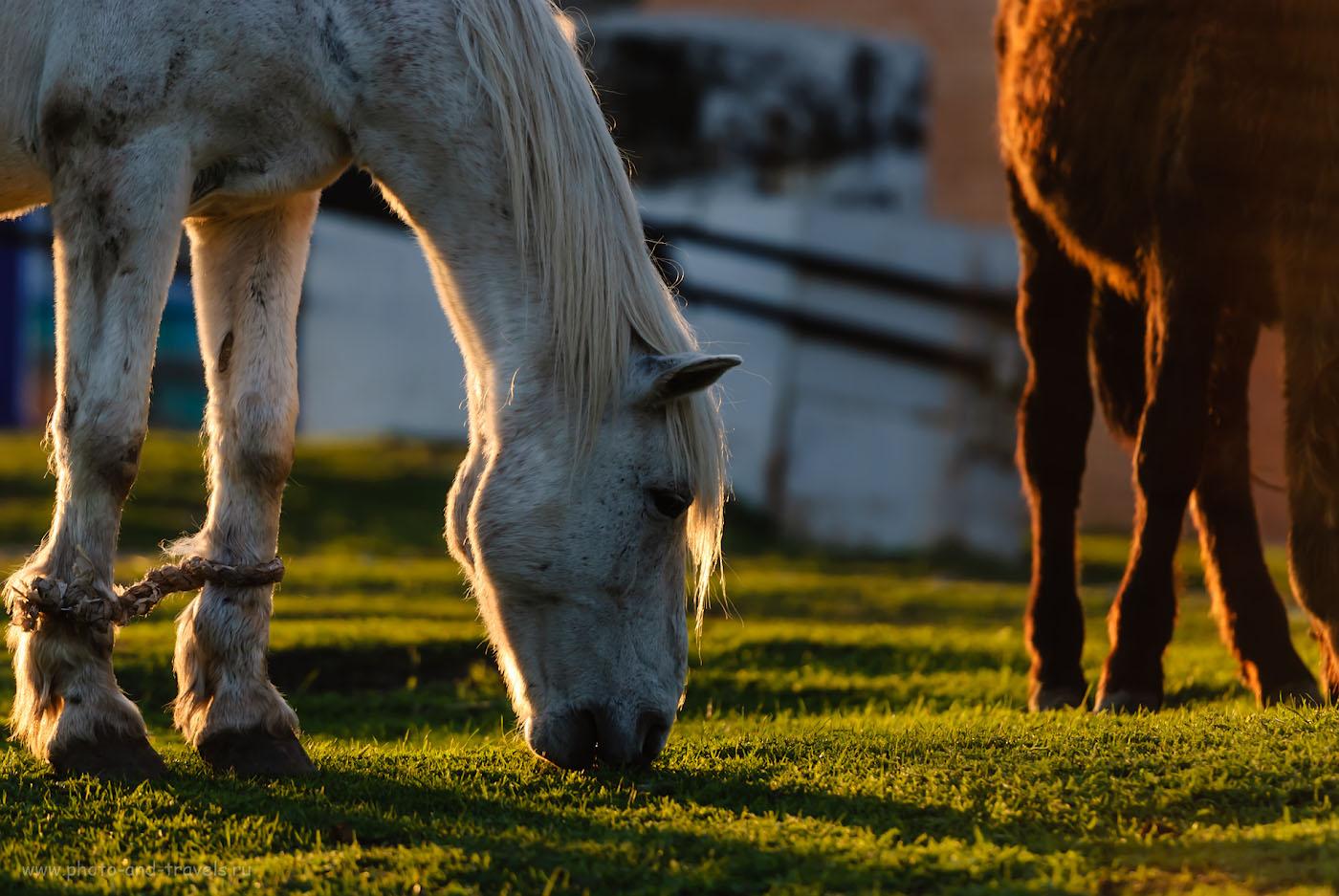 Фото 38. Путешествуя по Башкортостану, на каждом шагу встречаете табуны овец, коров и лошадей. 1/400, +1.0, 2.8, 100, 200.