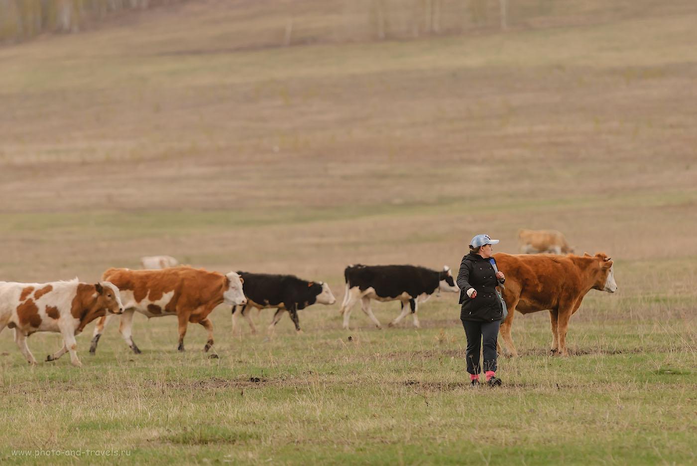 Фотография 45. Решили отдохнуть в Башкирии? Смотрите, чтобы местное бычье не забодало и клещи не выпили всю кровь. 1/320, 2.8, 320, 185.