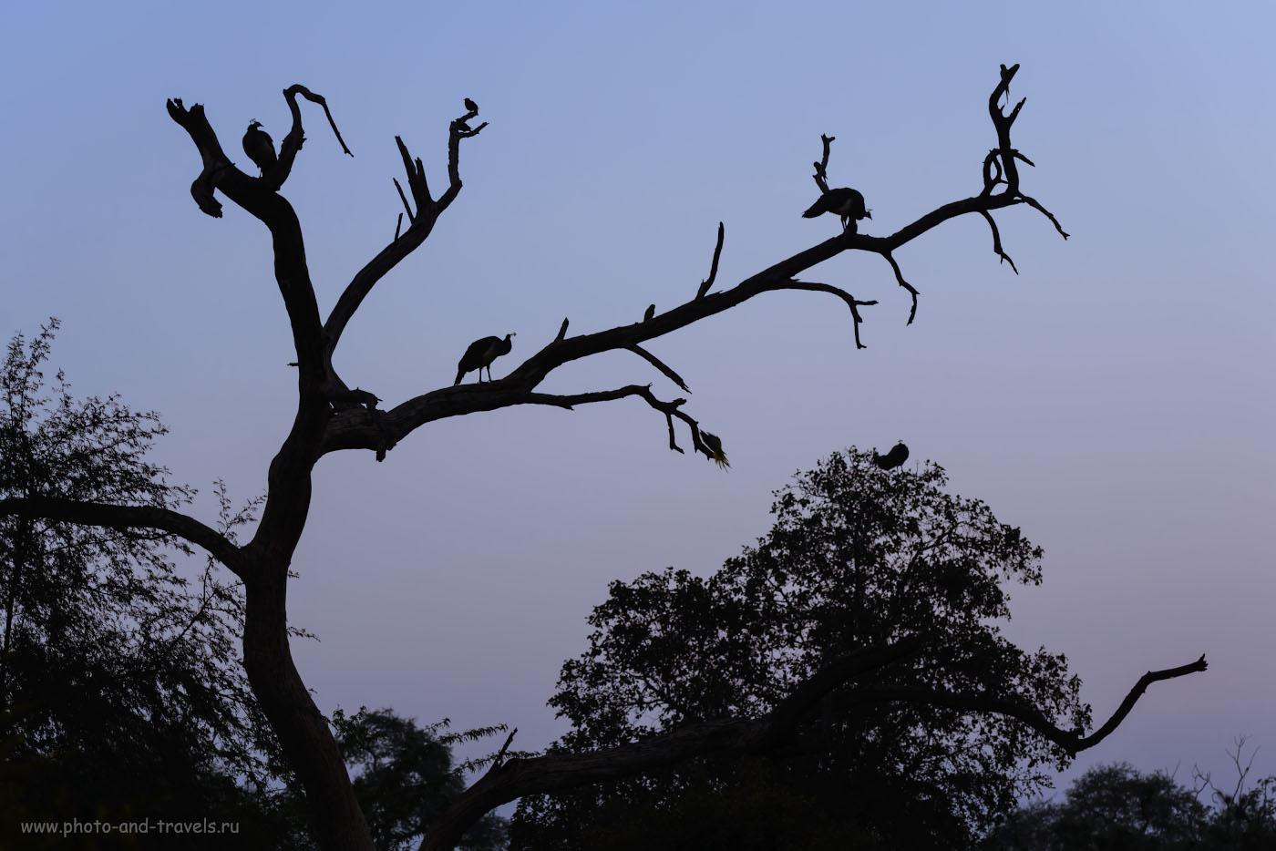 Фото 1. Фотоохота на павлинов в парке Кеоладео. Отзывы туристов о самостоятельных экскурсиях. Выдержка 1/200 сек, экспокоррекция +0.33EV, f/4.0, ISO 720, фокусное расстояние 100 мм.