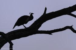 V Indii obiazatelno sovetuiu posetit prirodnyi park Keoladeo nakhodiashchiisia riadom s Agroi Takogo nesmetnogo kolichestva ptits priletevshikh na zimovku s Severnykh stran malo gde vstretish.
