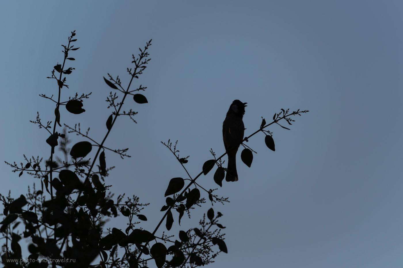 Фото 3. Фотоохота на рассвете. Судя по профилю птицы, это - красногузый бюльбюль. Отзыв об экскурсии в заповеднике Bharatpur Bird Sanctuary. 1/640, -0.67, 4.0, 110, 280.