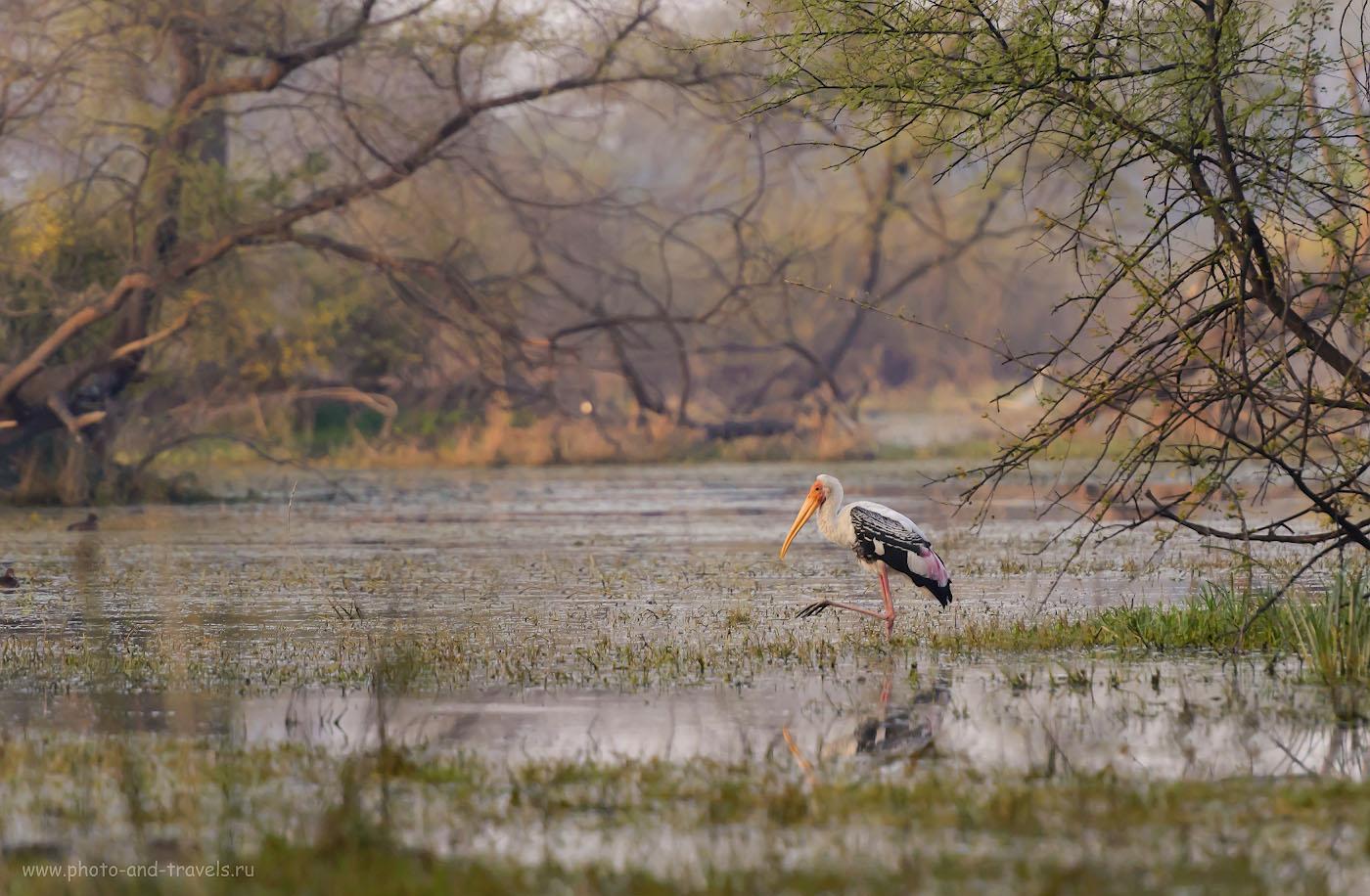 Фото 5. Индийский клювач. Мы видели таких аистов и в нацпарке Яла (Yala National Park) на Шри-Ланке. 1/250, -0.67, 4.0, 1400, 280.