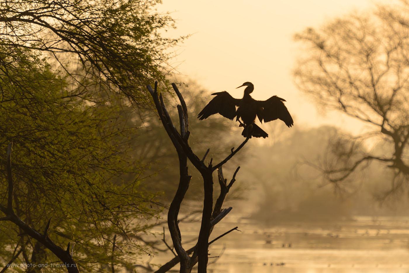 Снимок 6. Фотоохота на баклана в заповеднике Кеоладео. 1/800, 4.0, 180, 190.