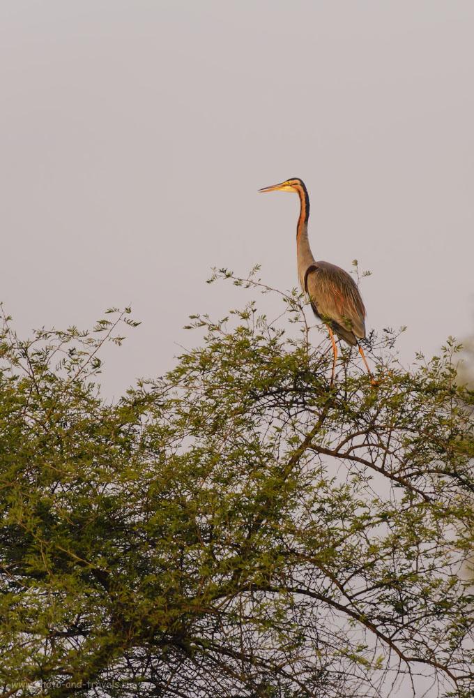 Фотография 7. Если не ошибаюсь, птица называется «индийская змеешейка». Отчет о путешествии в Индию. 1/640, 4.0, 180, 260.