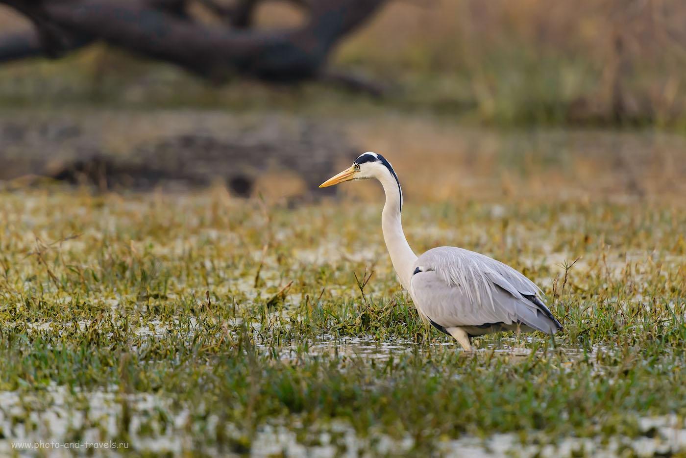 Снимок 8. Серая цапля в болотах птичьего заповедника Кеоладео. Отзывы о поездке по Индии самостоятельно. 1/640, +0.33, 4.0, 1800, 280.