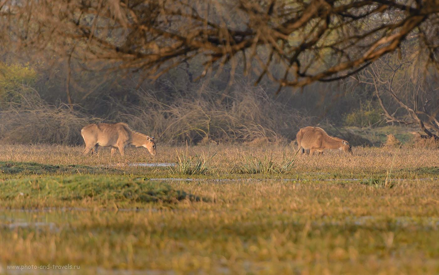 Фотография 10. Самки антилопы Нильгау в заповеднике Кеоладео. Отчет о фотоохоте в Индии. 1/640, -0.67, 4.0, 320, 280.