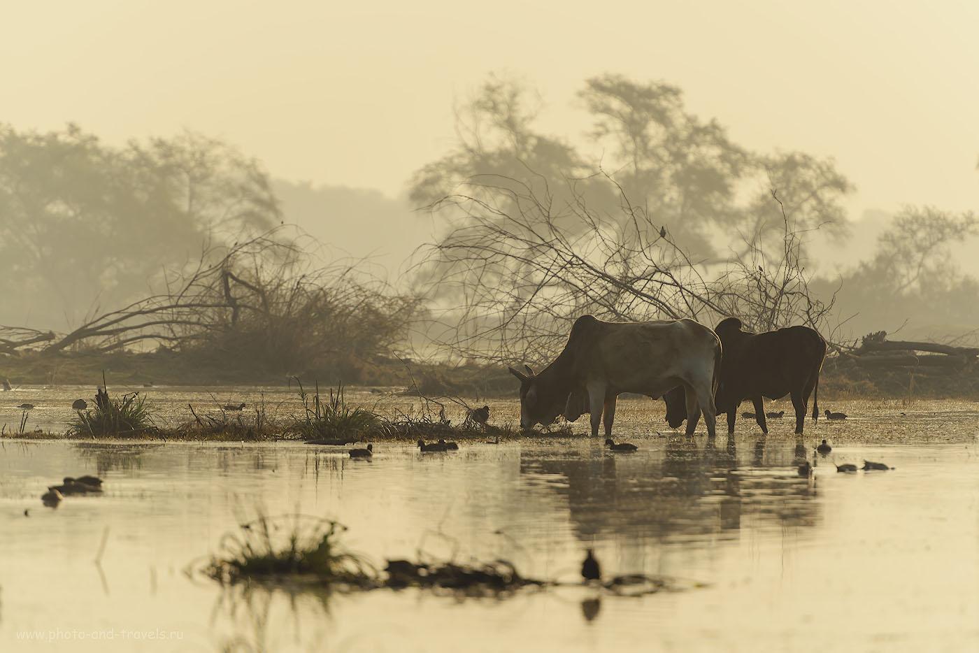 Фото 14. Отзывы о фотоохоте в Кеоладео. Если птиц не встретите, что вряд ли, хоть коров поснимаете. 1/1000, 4.0, 100, 280.