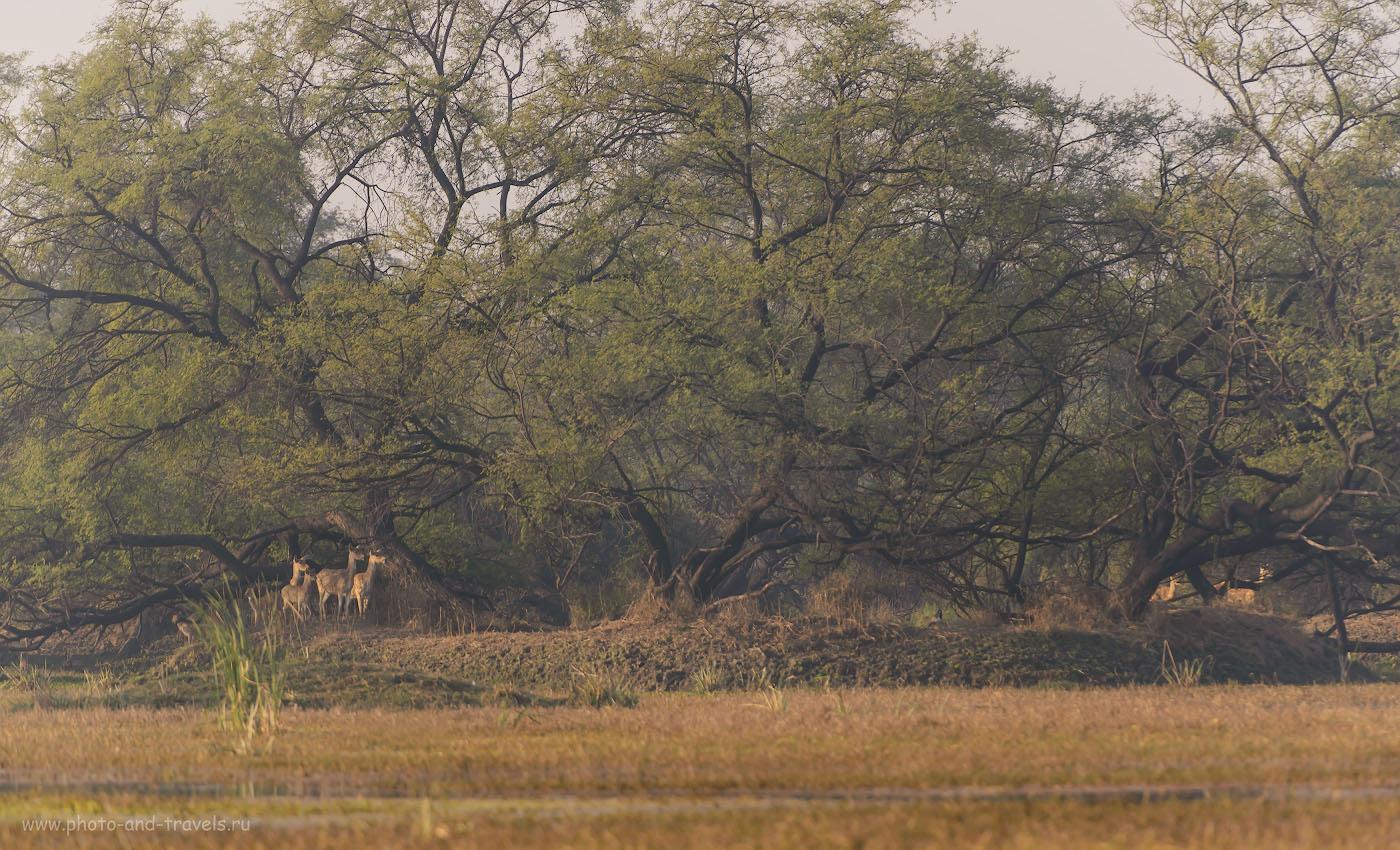18. Утренний дозор. Тёлки антилопы Нильгау в парке Кеоладео. 1/250, 4.0, 500, 280.