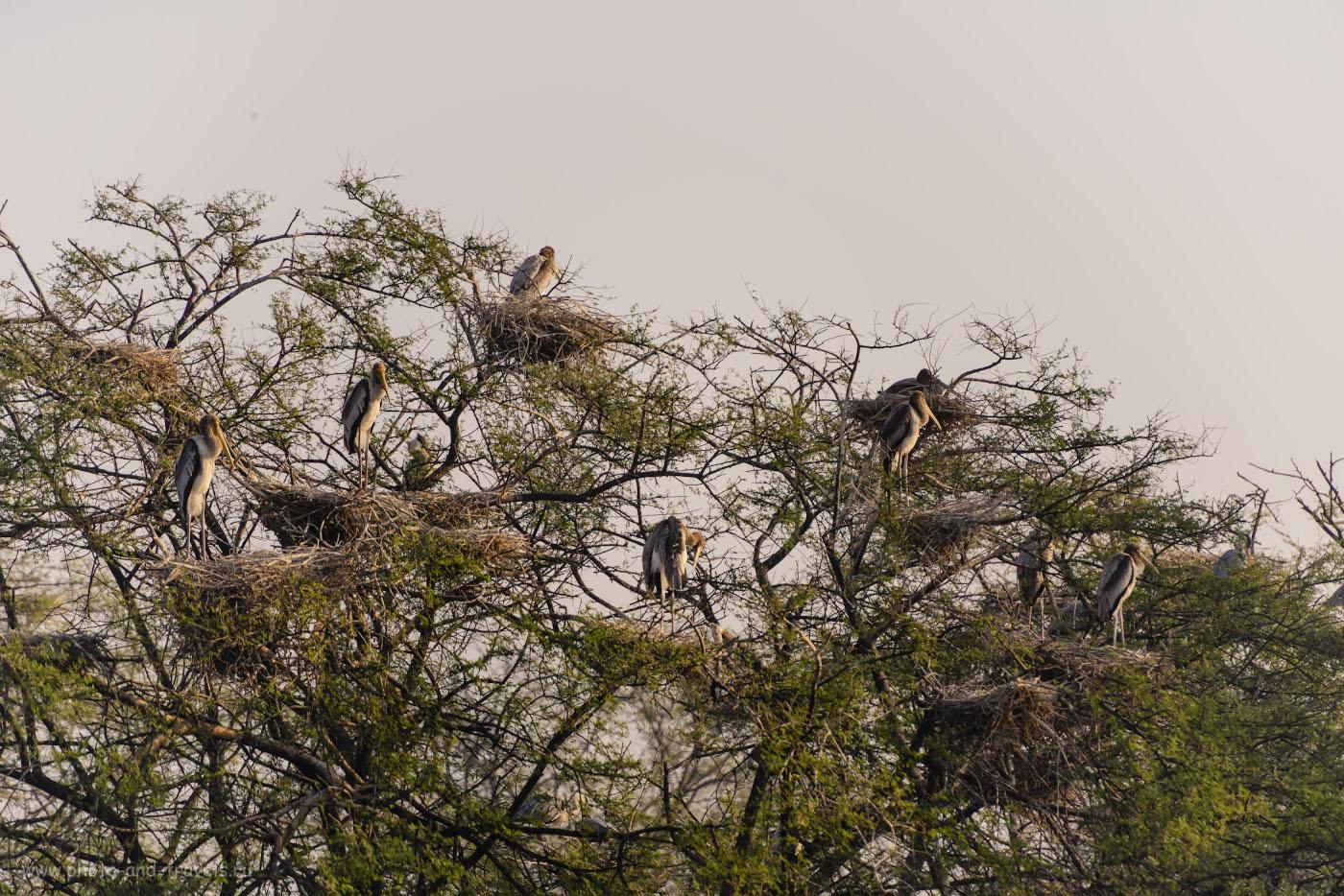 Снимок 21. Индийские клювачи. Фотоохота в парке Кеоладео. 1/1250, 4.0, 220, 280.