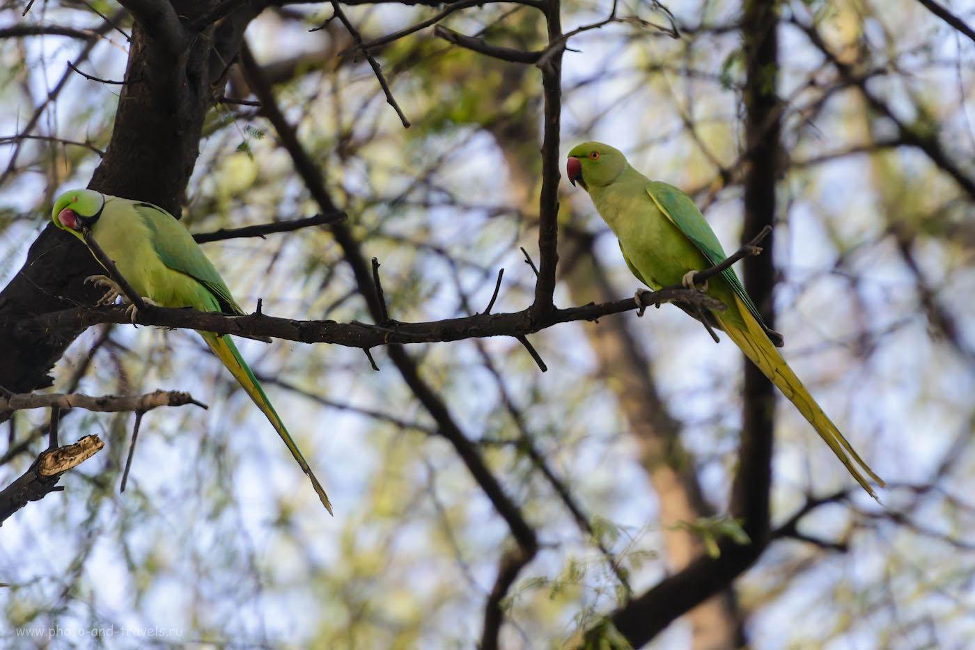 22. Индийские кольчатые попугаи всегда летают парочками. Отзывы туристов о самостоятельных экскурсиях в Раджастхане. 1/1250, 4.0, 250, 280.