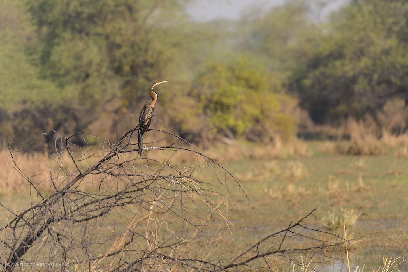 25. Индийская змеешейка. Фотоохота в Индии на Nikon 70-200 + Nikon TC-14E II. 1/1250, -0.33, 4.0, 220, 280.