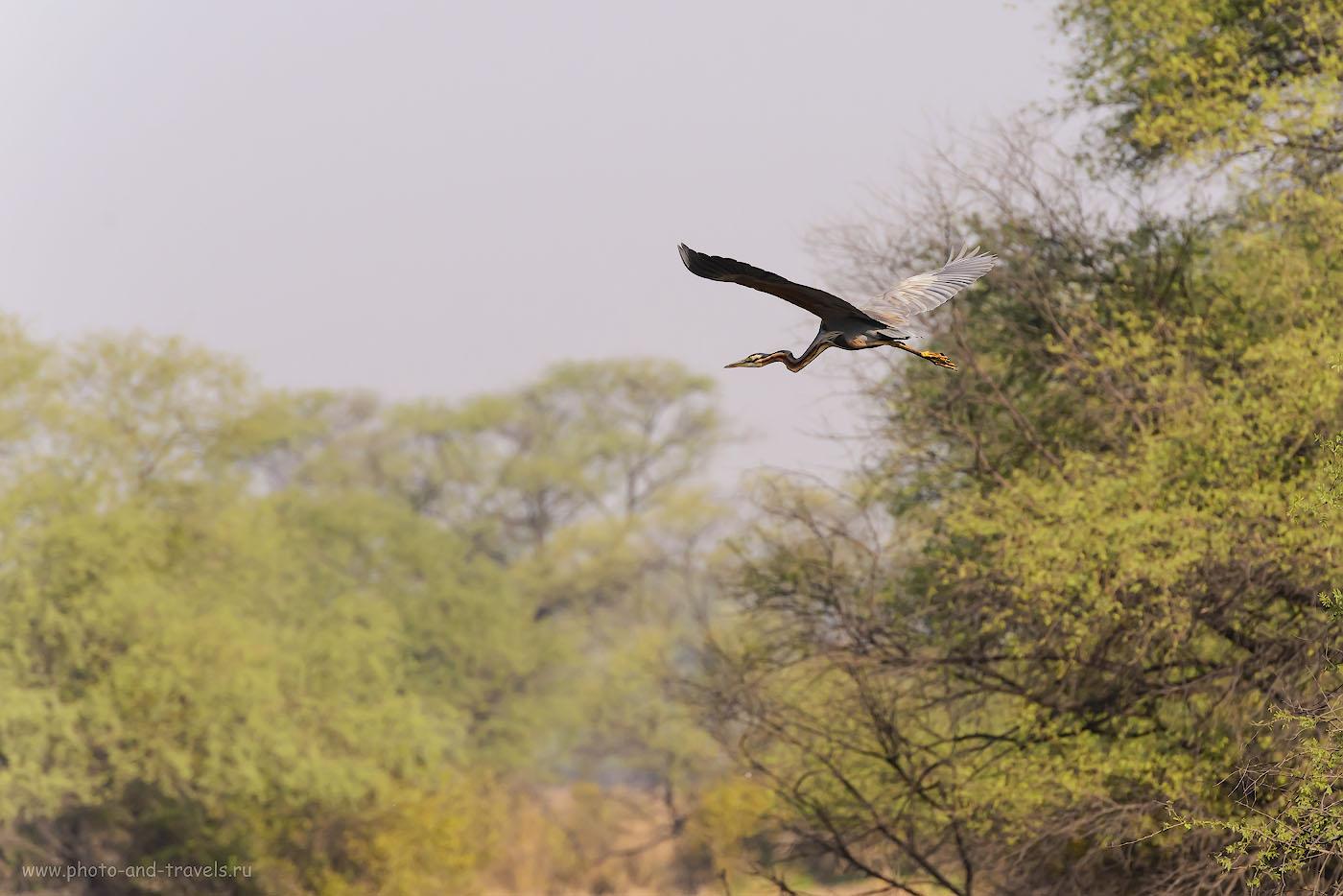 27. Летящая индийская змеешейка. Национальный парк Кеоладео. 1/2000, -0.33, 7.1, 1100, 270.