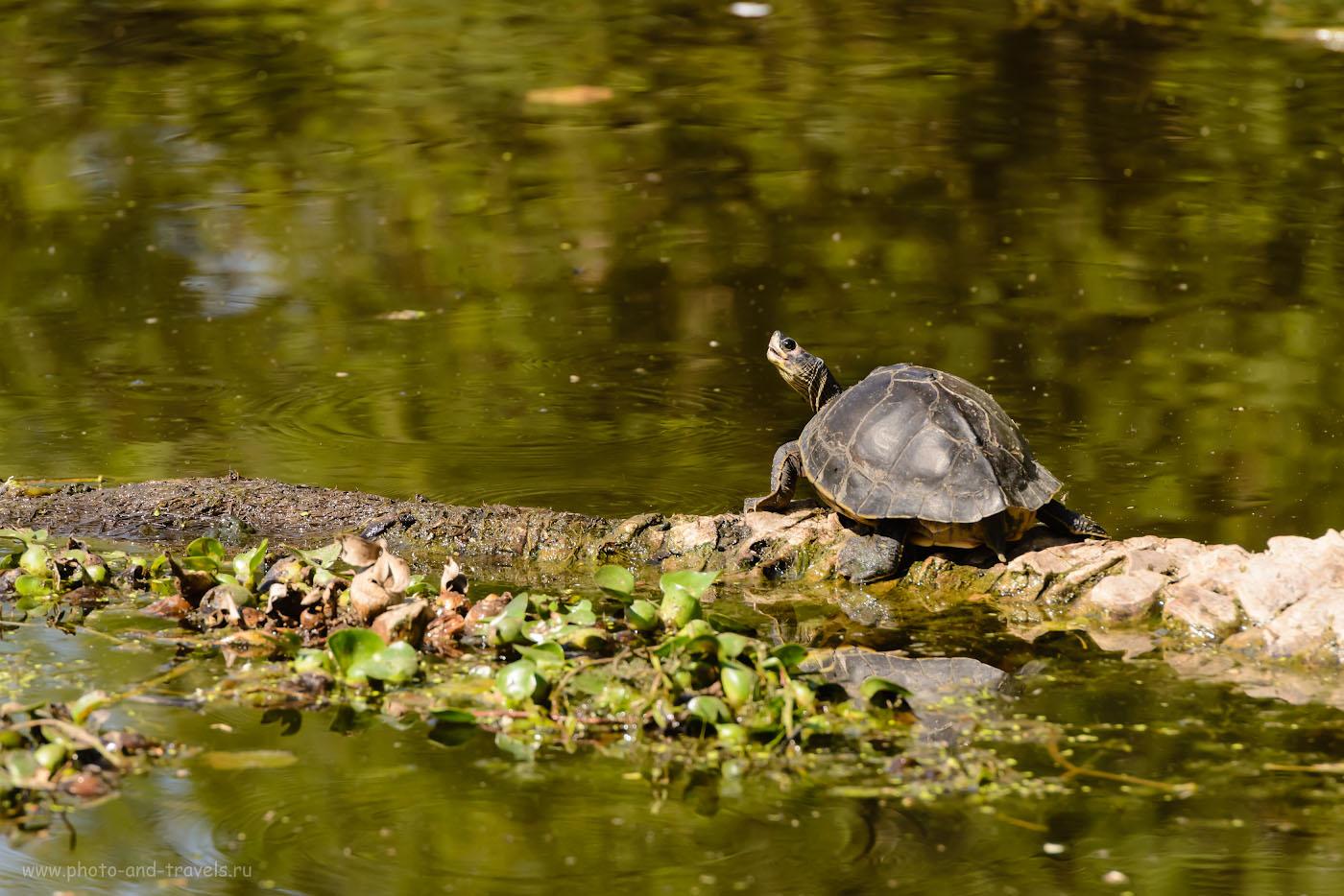 Снимок 33. Черепаха в заповеднике Кеоладео. 1/1250, 9.0, 1250, 280.