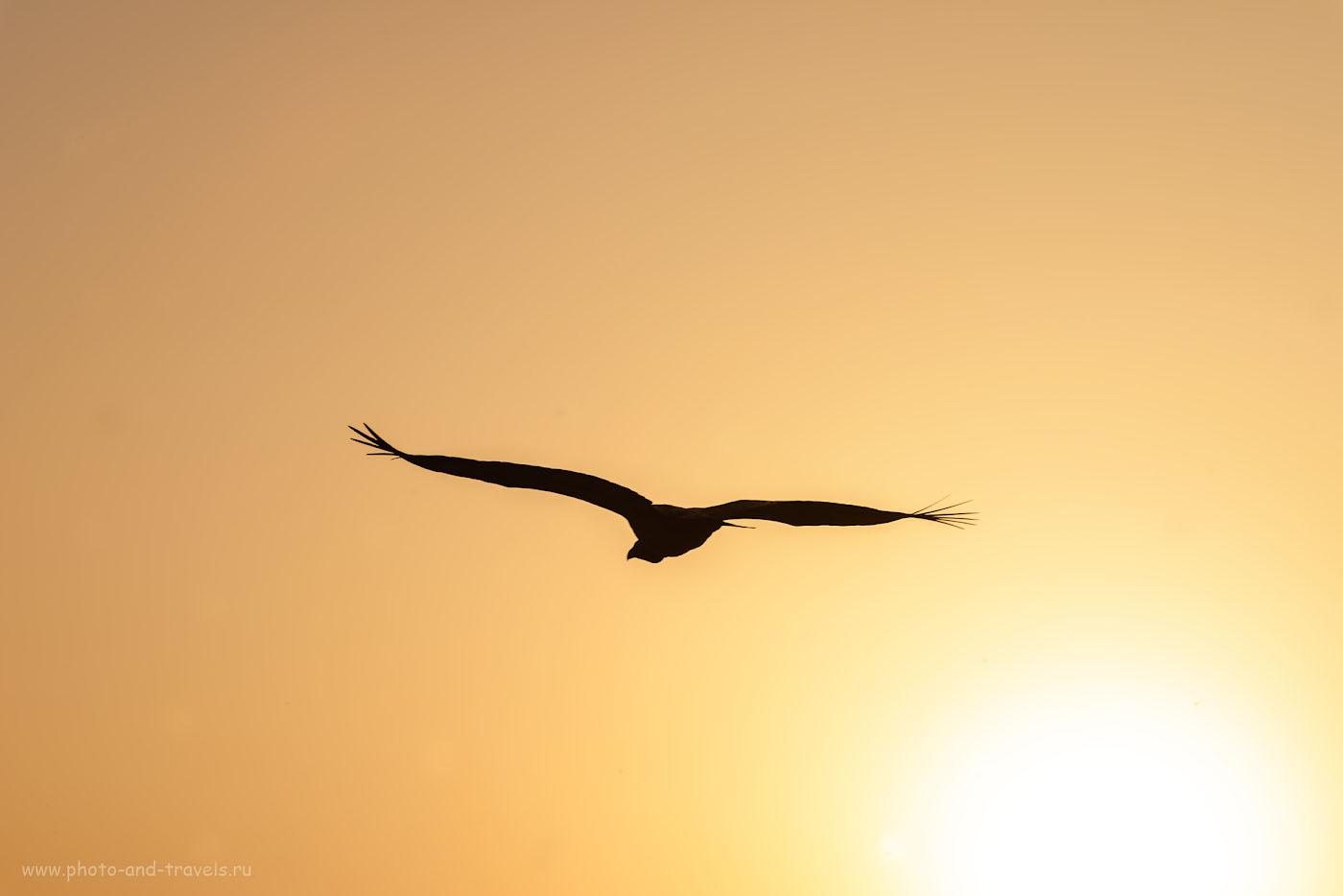 Снимок 21. Гриф в утреннем небе Орчхи. Чудесная экскурсия в Центральной Индии. 1/320, 0.33, 13.0, 140, 135.
