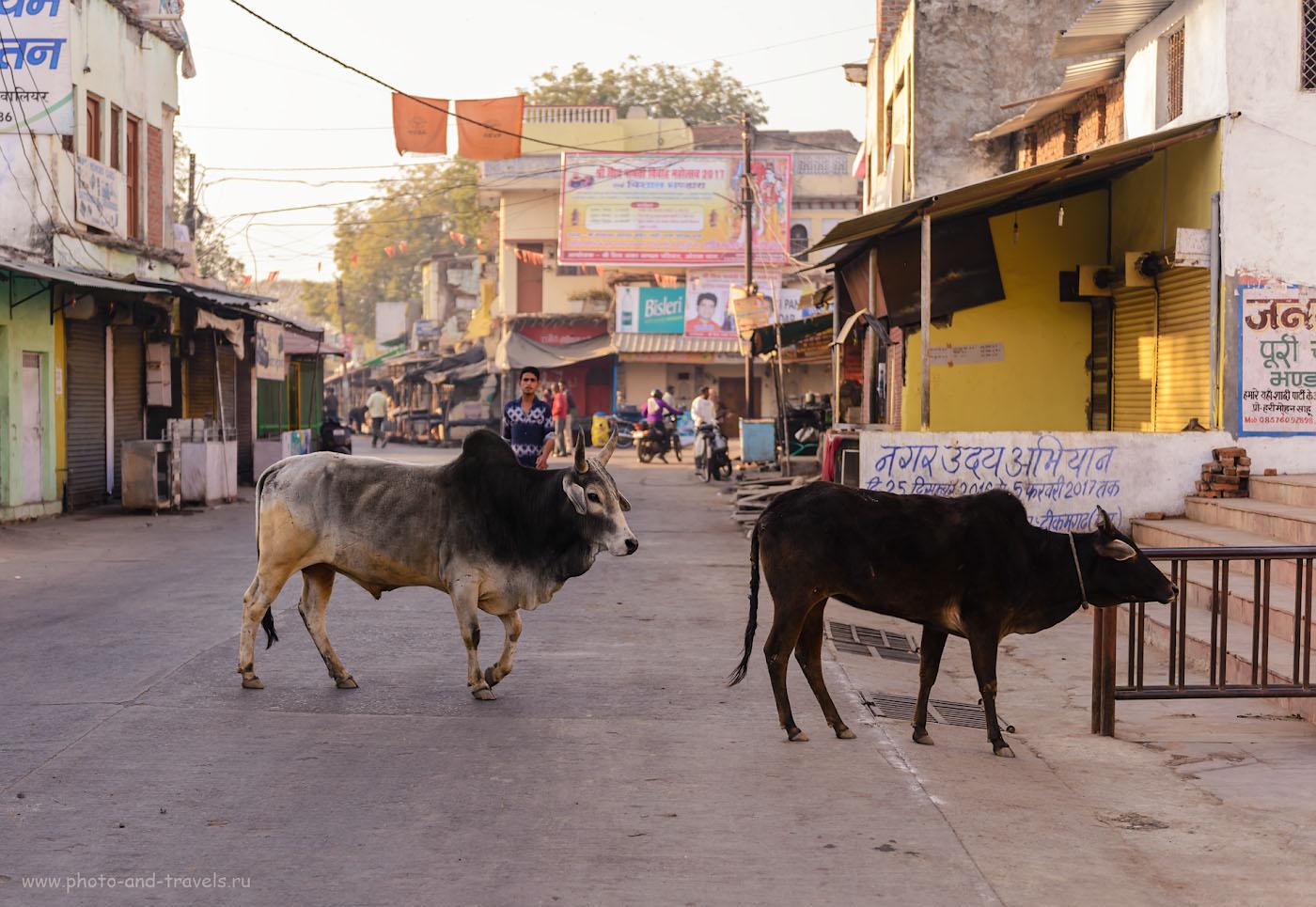 Фото 14. Корова - самое распространенное домашнее животное на улицах индийских городов. В отличие от Турции, в Индии мы почти не видели кошек. 1/320, 2.8, 100, 48.